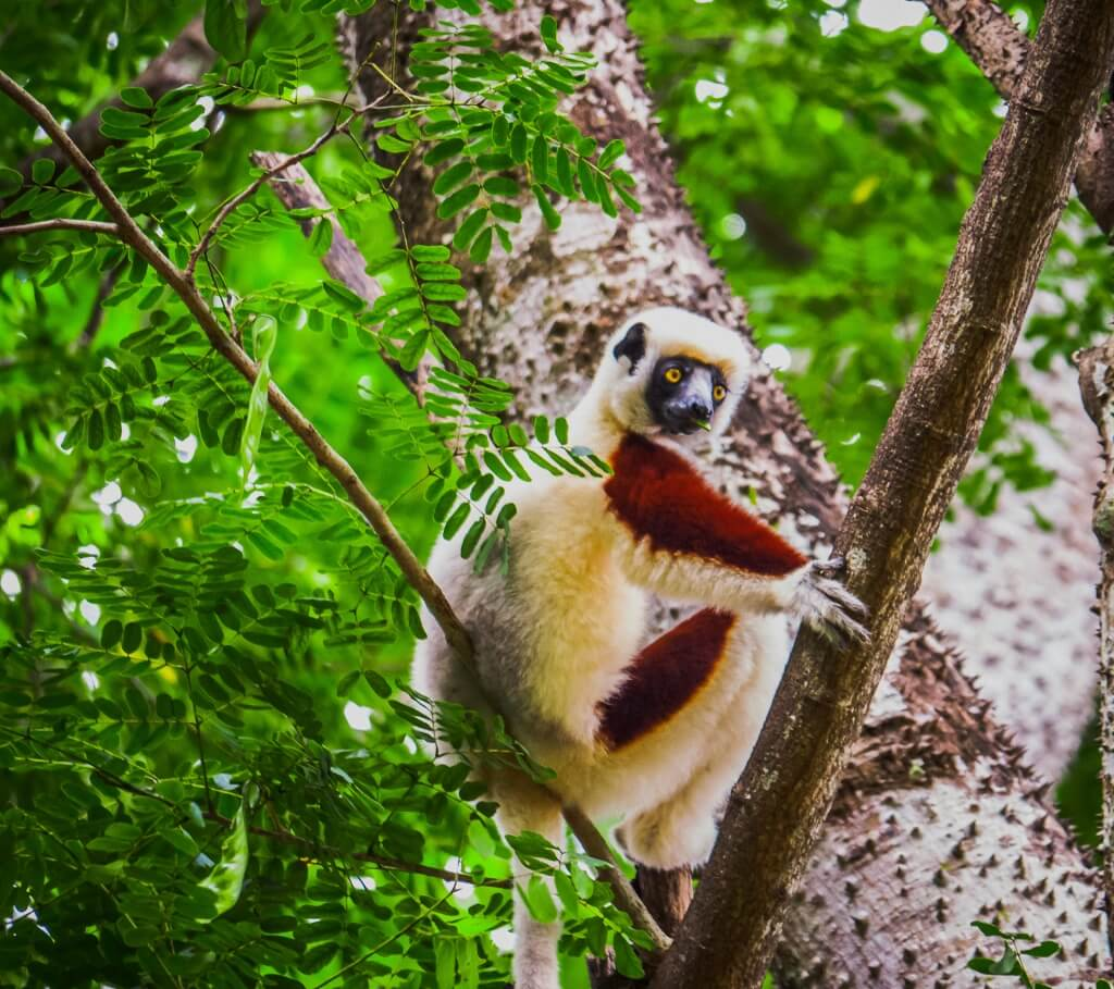 A Verreaux's Sifaka munches a leaf from the trees.